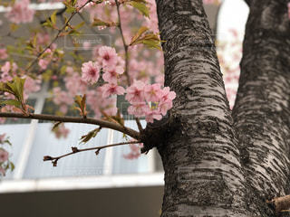 花,春,桜,屋外,満開,樹木,河津桜,草木,ブロッサム