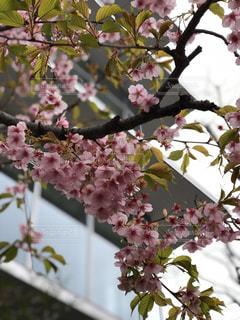 花,春,桜,枝,景色,樹木,河津桜,草木,桜の花,さくら,ブルーム,ブロッサム
