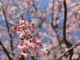 花,春,屋外,ピンク,鮮やか,満開,樹木,草木,桜の花,さくら,ブロッサム