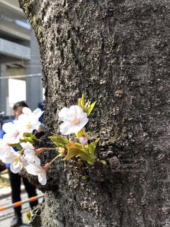 花,桜,桜満開,染井吉野