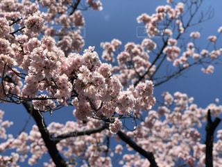 空,花,春,屋外,満開,樹木,桜の花,さくら,ブロッサム