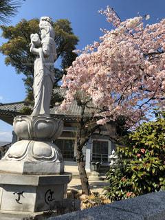 空,花,桜,屋外,満開,樹木,像,彫刻,観音様