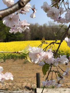 桜,菜の花,満開,桜フォト