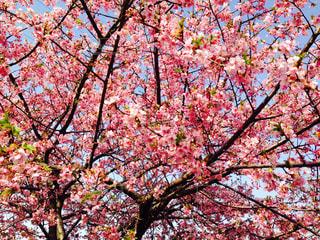 桜,ピンク,満開,桜フォト