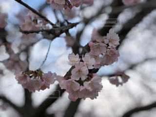 花,春,景色,満開,樹木,草木,桜の花,さくら,ブルーム,ブロッサム,安行桜,満開桜満開フォト