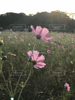 紫色の花のフィールドのグループの写真・画像素材[791583]