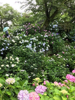 大きな紫色の花は、庭の写真・画像素材[1123623]