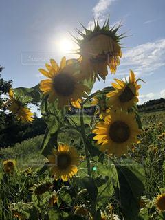 黄色の花の束の写真・画像素材[1405174]