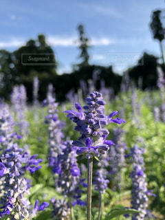 植物の紫色の花の写真・画像素材[1405181]