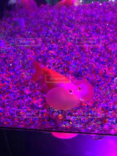 ピンク,癒し,可愛い,金魚,金魚ミュージアム,ピンクだらけ