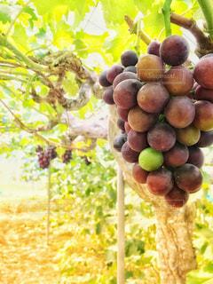 秋,フルーツ,果物,ブドウ,味覚狩り