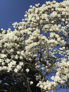 春,白い花,春の花,モクレン,白いモクレン