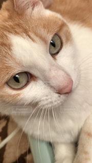 近くに茶色の目でオレンジと白猫のアップの写真・画像素材[983061]