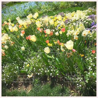 花,春,花畑,白,お花,チューリップ,横浜,神奈川,ズーラシア,中山,里山ガーデン