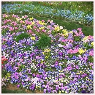 花,春,花畑,紫,お花,チューリップ,横浜,ネモフィラ,パンジー,神奈川,ビオラ,ズーラシア,中山,里山ガーデン