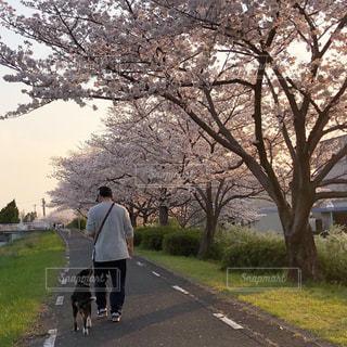 桜並木の散歩道の写真・画像素材[2167124]