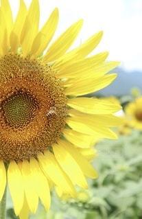 ひまわりとミツバチの写真・画像素材[3539588]