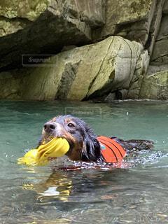 おもちゃを咥えて泳ぐ犬の写真・画像素材[3660384]