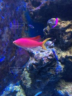 魚,ピンク,水族館,水槽,美ら海