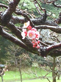 公園,花,春,桜,屋外,ピンク,雨の日