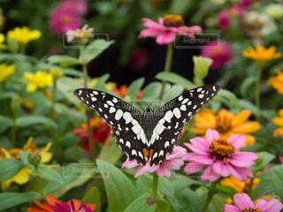 花にとまる蝶の写真・画像素材[795450]