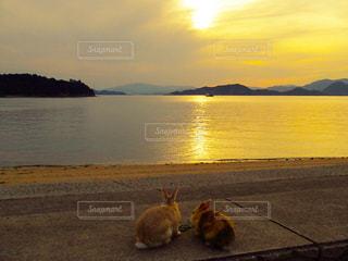 夕日の中のうさぎの写真・画像素材[806714]