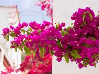 イドラ島の花 - No.808938