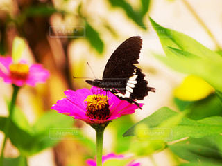 花と蝶の写真・画像素材[813548]
