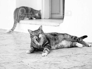 あくびをする猫 - No.820228