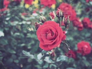 晩秋のバラの写真・画像素材[848777]