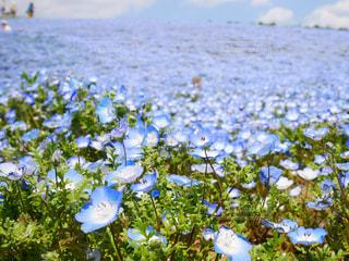 花,ネモフィラ,Snapmart,ひたち海浜公園,茨城,フォトジェニック,インスタ映え