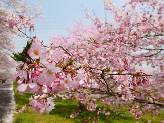 ピンクの花の木 - No.1127900