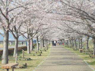 花,春,桜,フラワー,サクラ,お花見,兵庫県,兵庫,さくら,おの桜づつみ回廊