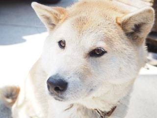 カメラを見て茶色と白犬の写真・画像素材[1187404]