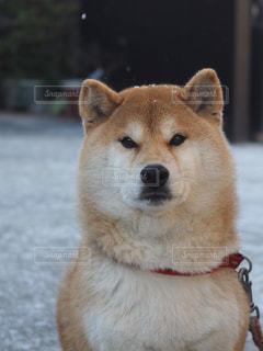 愛犬しいの写真・画像素材[1187410]
