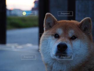 我が家の愛犬の写真・画像素材[1187413]