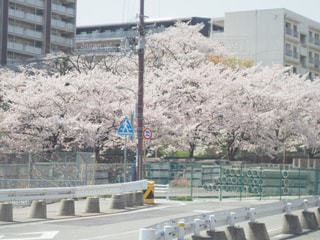 花,春,桜,屋外,花見,サクラ,お花見,兵庫県,さくら