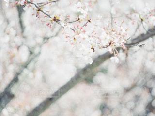 花,春,桜,屋外,花見,サクラ,お花見,ライフスタイル,兵庫県,さくら