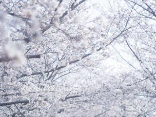 自然,花,春,屋外,サクラ,樹木,お花見,草木,おはなみ,さくら,はる,ブロッサム