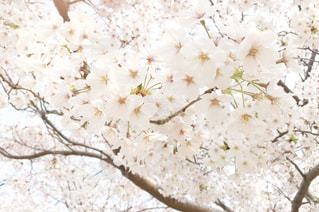 花,春,桜,屋外,ピンク,白,花見,お花,サクラ,お花見,はな,さくら,ブロッサム
