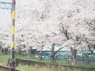 花,春,桜,屋外,電車,線路,サクラ,草,樹木,お花見,草木,桜の花,さくら,ブロッサム,せんろ