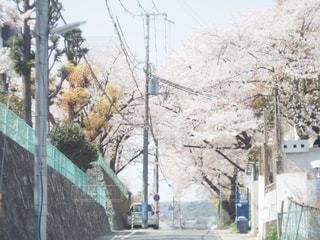 空,春,桜,屋外,道路,花見,桜並木,サクラ,樹木,お花見,青春,通り,日中,さくら