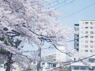 空,花,春,桜,屋外,サクラ,樹木,お花見,都会,桜の花,おはなみ,さくら,ブロッサム