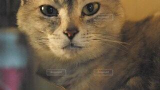 猫,動物,屋内,夕方,ねこ,ペット,子猫,仔猫,あくび,座る,昼,幸せ,平和,夕陽,cat,見つめる,髭,どうぶつ,猫派,ネコ科,ネコ,こねこ,探す,ネコ派