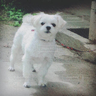 ひもに小さな白い犬の写真・画像素材[1184113]