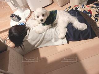 ベッドの上で横になっている小さな白い犬の写真・画像素材[1637258]