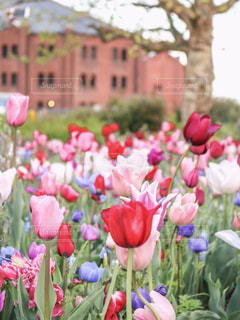 赤レンガ倉庫とチューリップ畑♡の写真・画像素材[1124092]