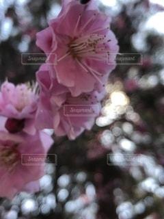 木漏れ日に包まれた梅の花の写真・画像素材[1825049]