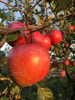 枝の上に座って赤いリンゴの写真・画像素材[849911]