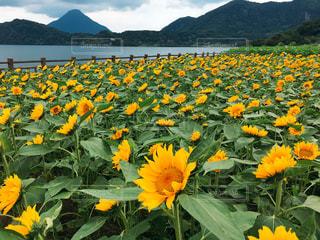 背景の山と黄色い花の写真・画像素材[1367936]